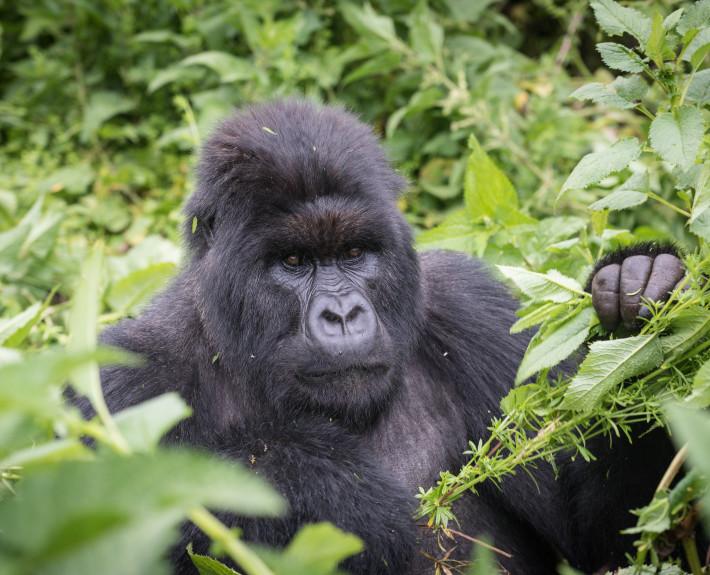 Gorilla_Naturfotografie