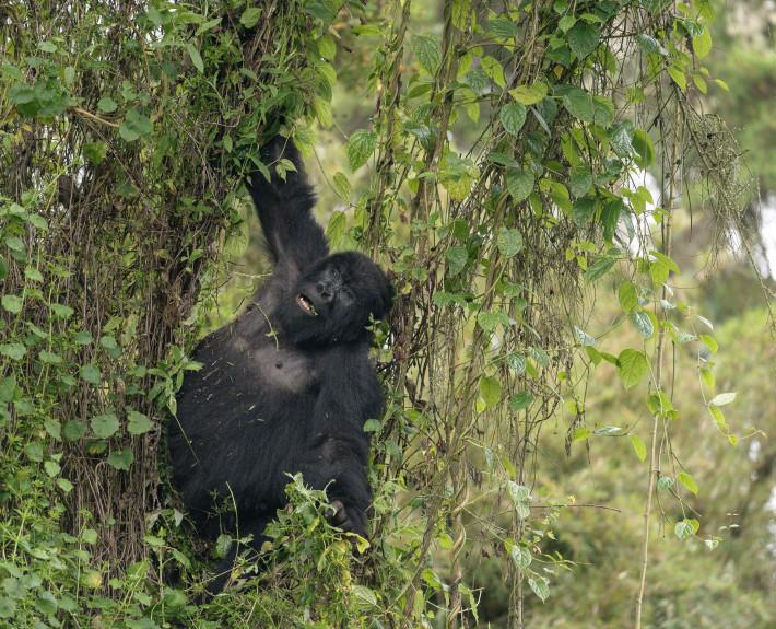 Gorilla_am_Baum