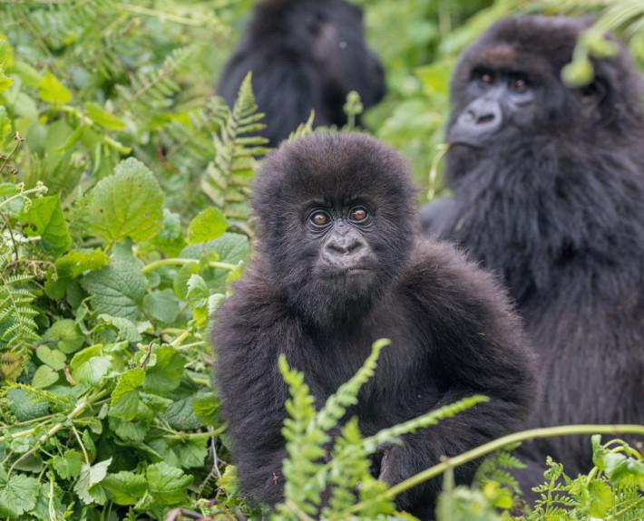 Gorillababy_Junger_Gorilla