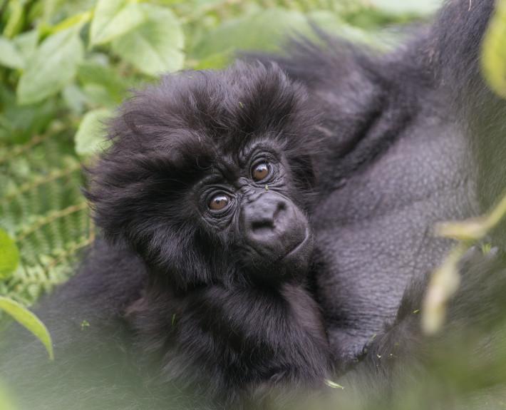 Gorilla_junges_Natur_Ruanda