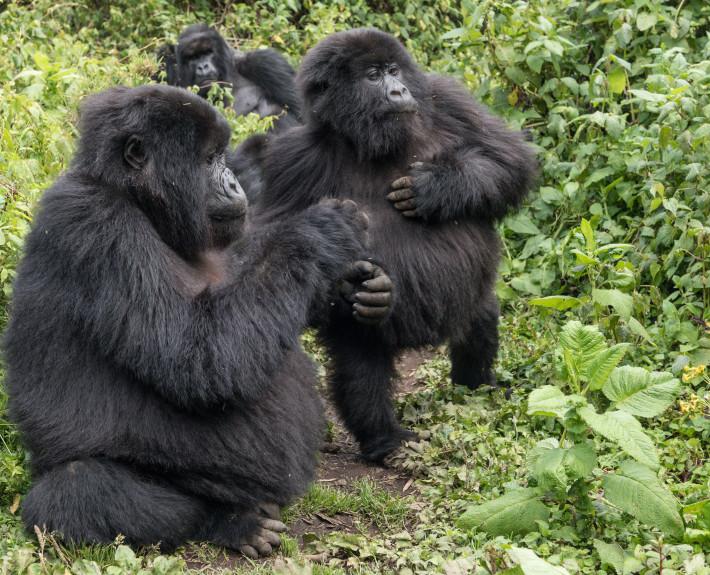 Gorilla_