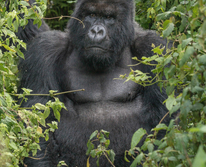 Leading_Silverback_in_Ruanda