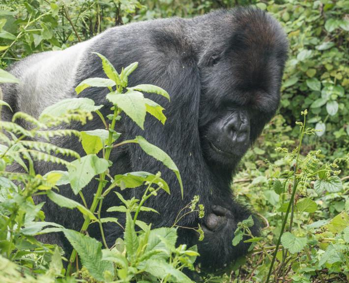 Silberrücken_Naturfotografie_Ruanda