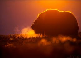 Ein Bulle, intensives Morgenlicht und der erste Frost.