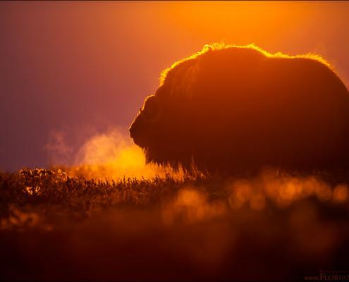 Ein Moschusochse im Morgenlicht.