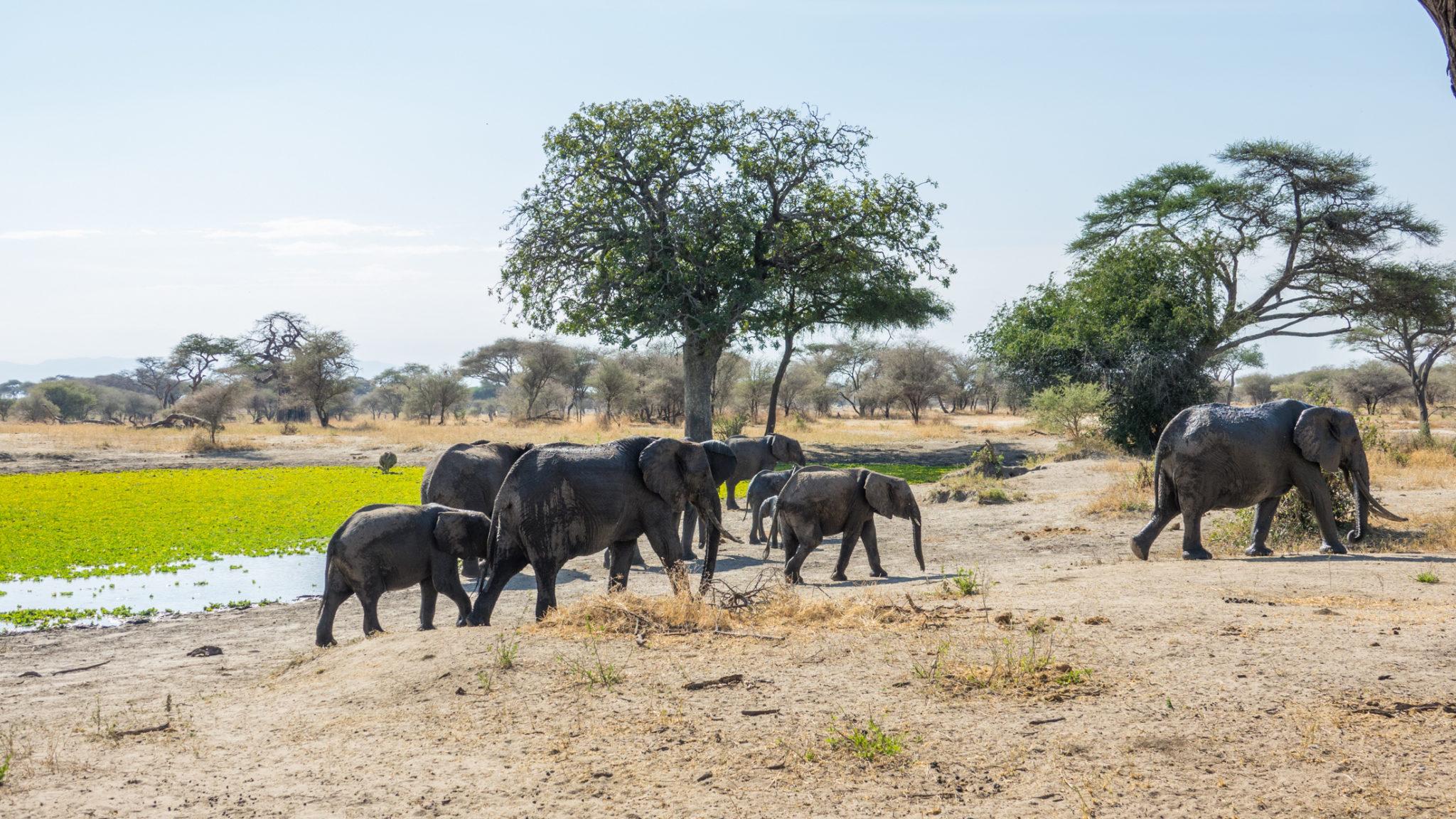 Erste Elefantensichtung am Wasserloch auf der Safari. Tarangire Nationalpark, Tansania