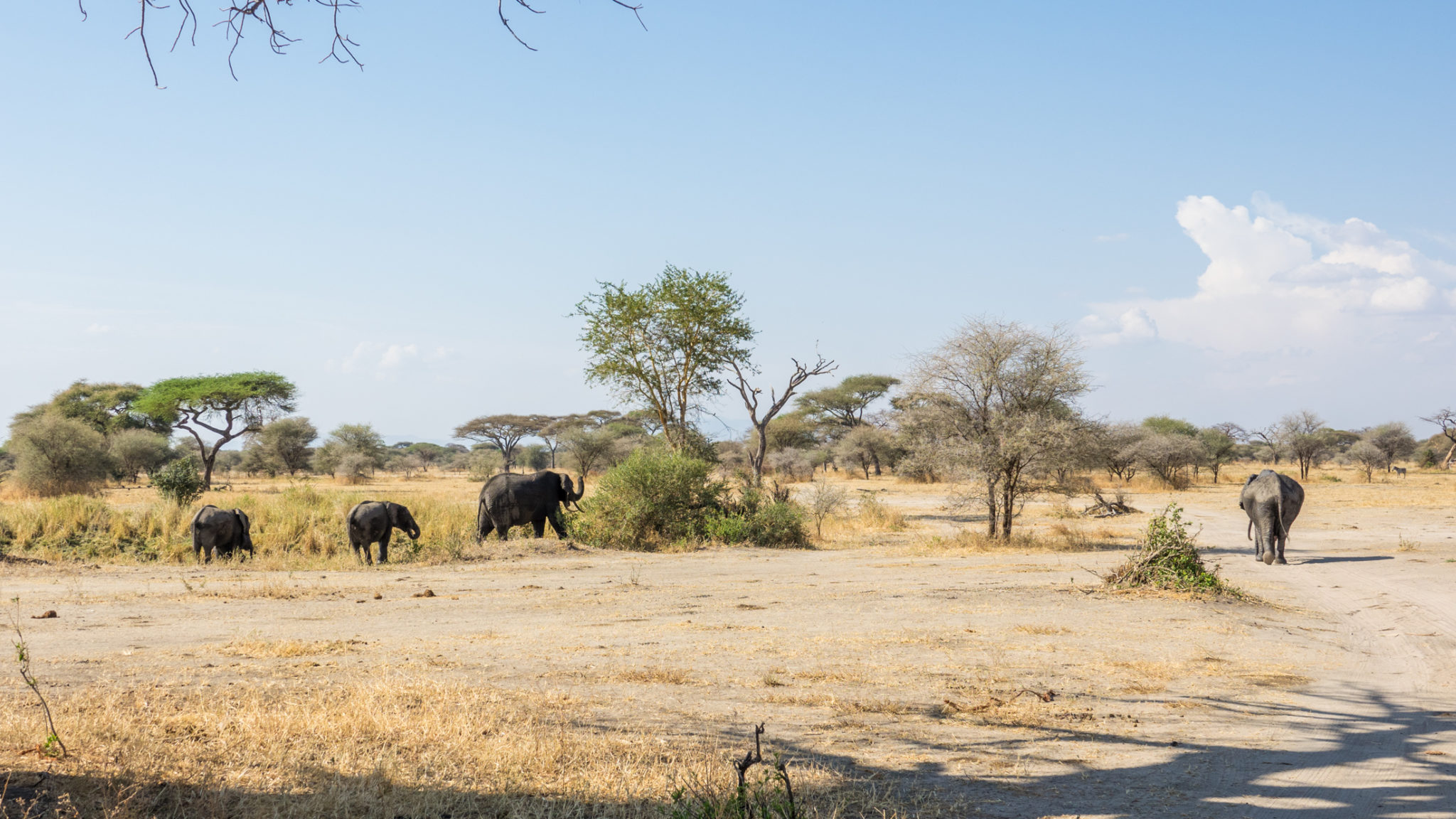 Elefanten im Tarangire Nationalpark, Tansania