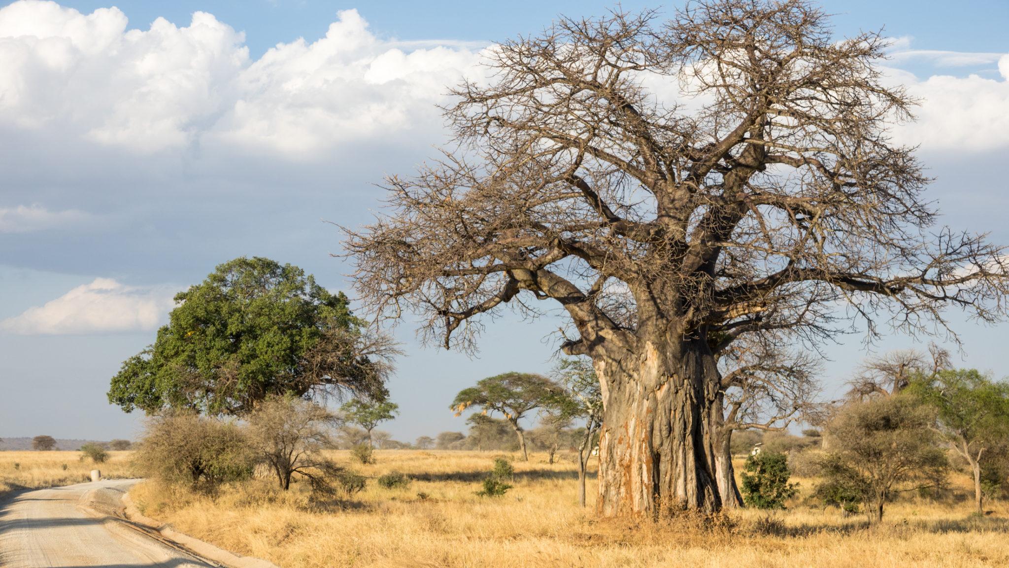 Baobab Baum im Tarangire Nationalpark, Tansania