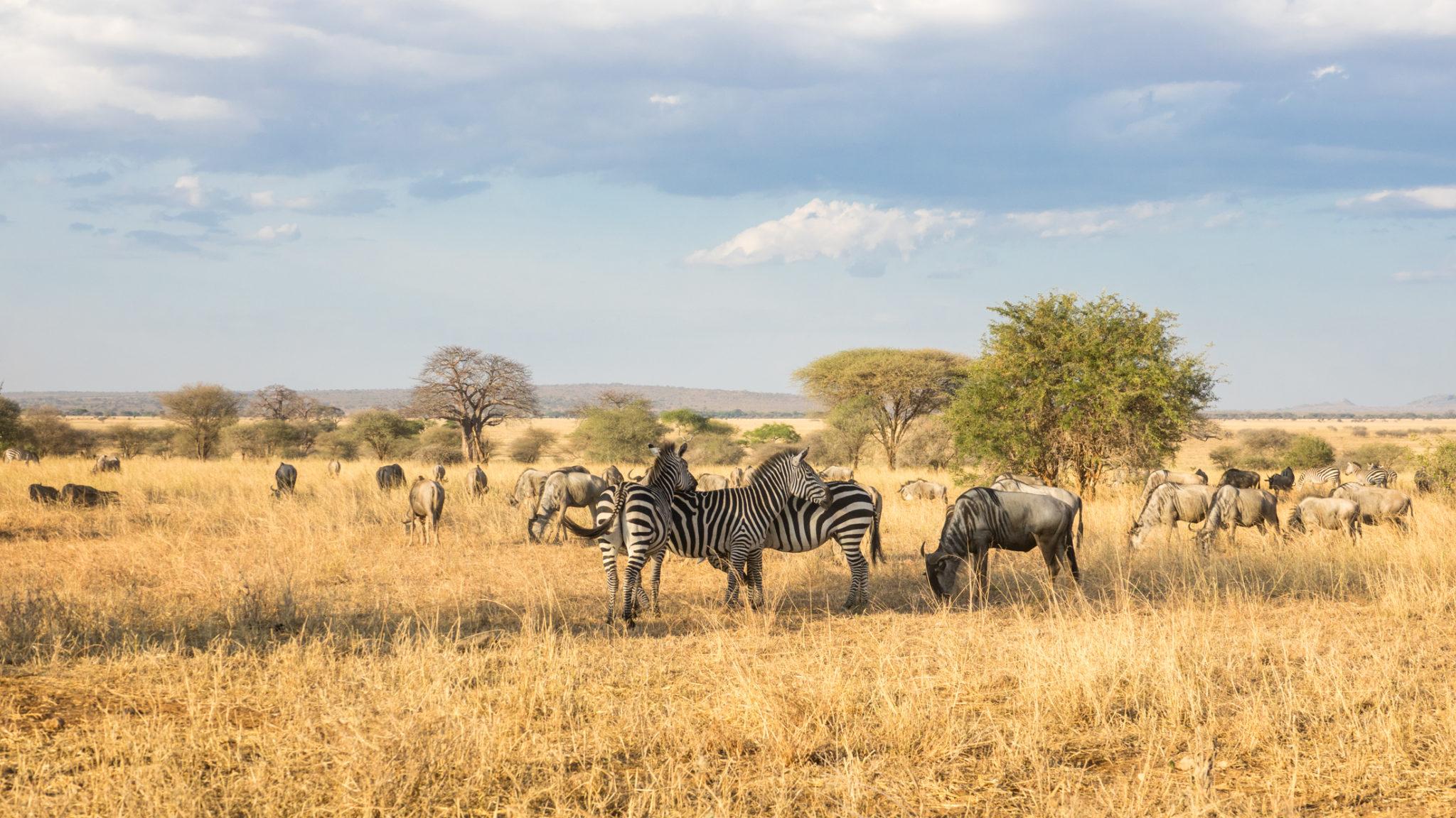 Zebras und Gnus im Tarangire Nationalpark, Tansania