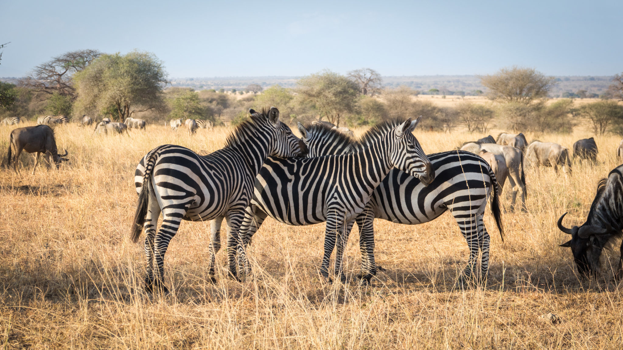 Gnus und Zebras im Tarangire Nationalpark, Tansania