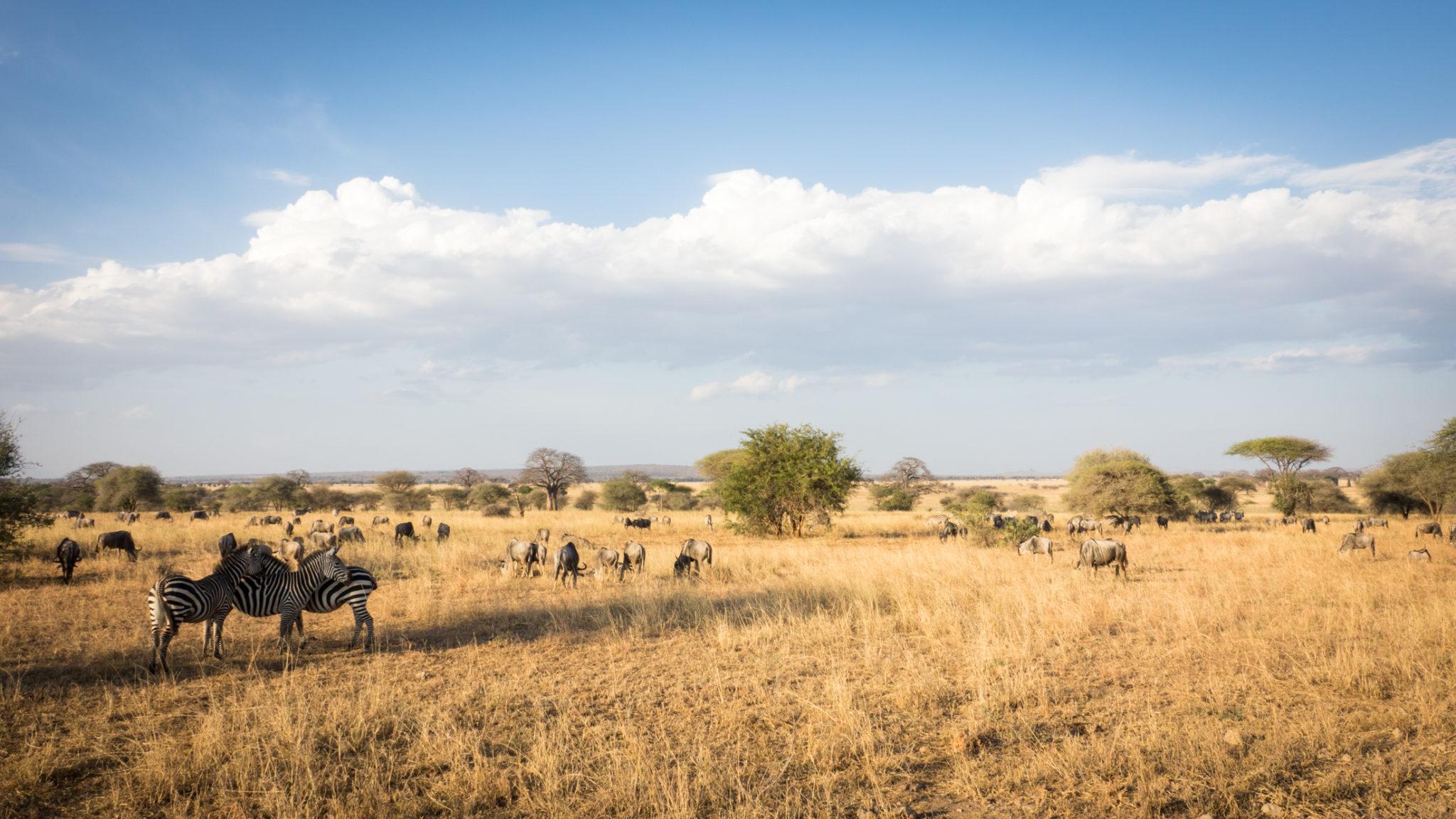 Zebras und Gnus in der Landschaft im Harangiere Nationalpark, Tansania