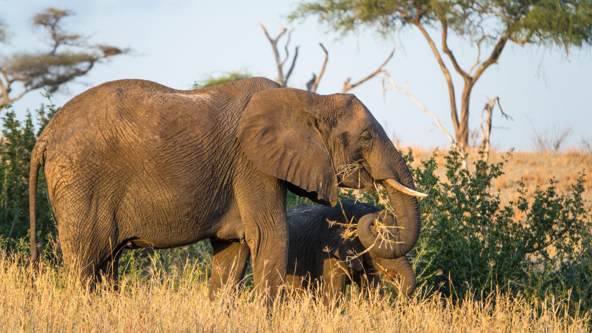 Elefantenkuh mit Baby im Tarangire Nationalpark, Tansania
