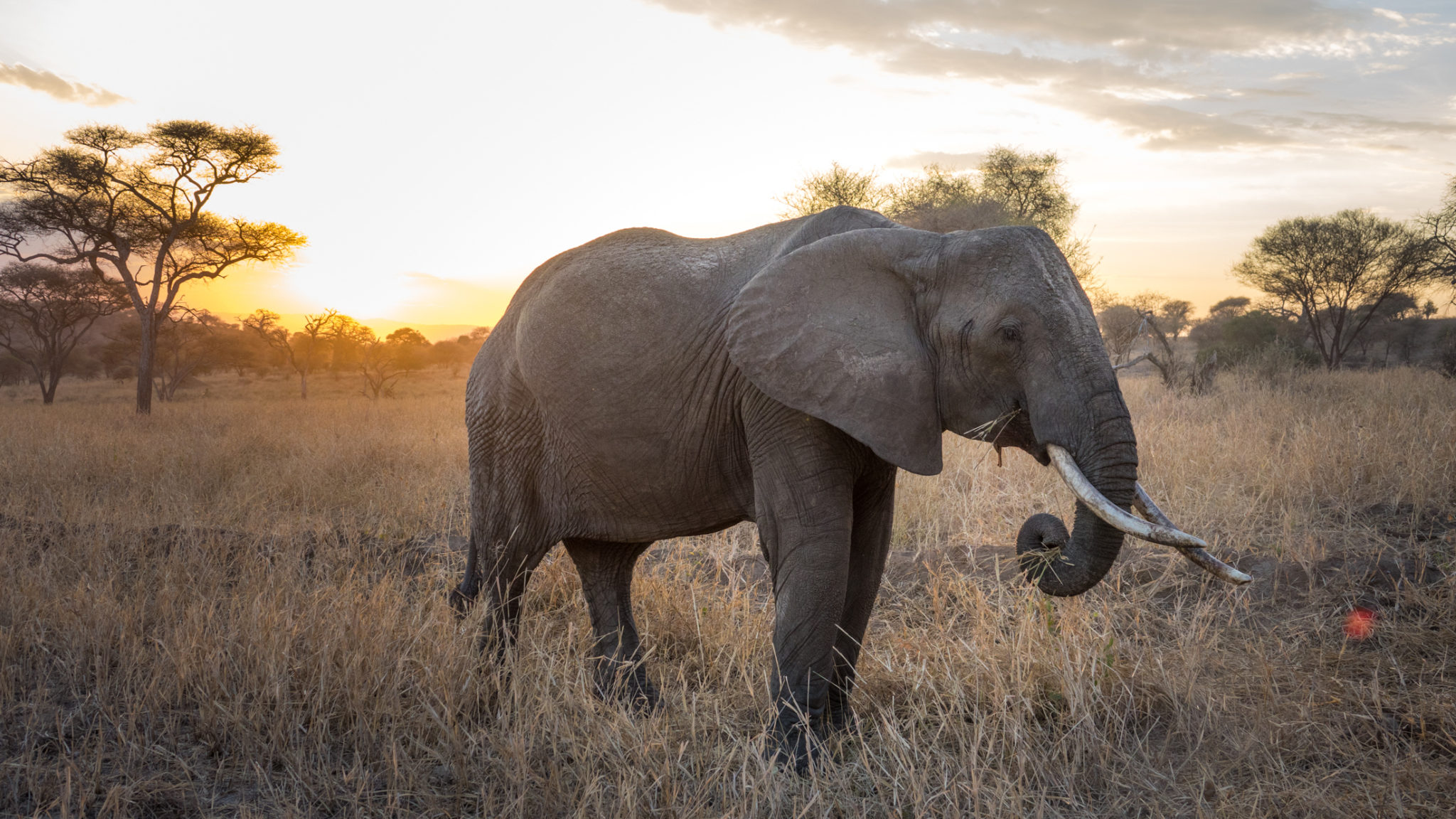 Elefant im Sonnenuntergang im Tarangire Nationalpark, Tansania