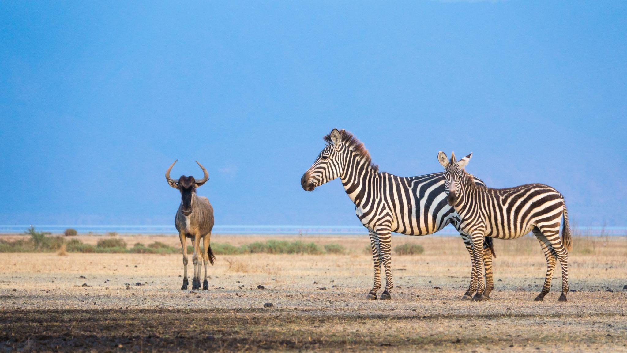 Zebras und ein Gnu am trockenen Ufer des Lake Manyara, Tansania