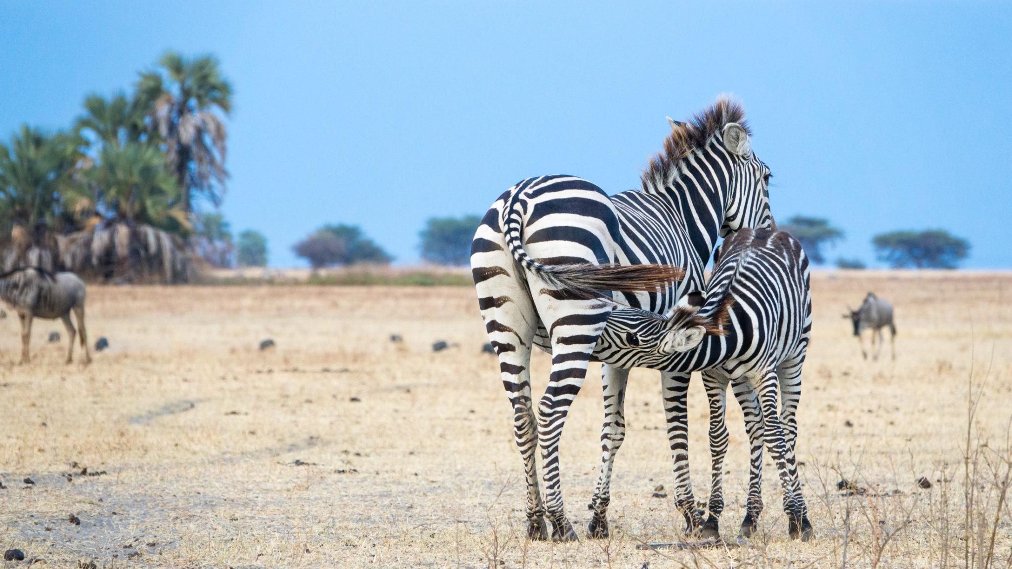 Zebramutter und ihr Kalb, Tansania