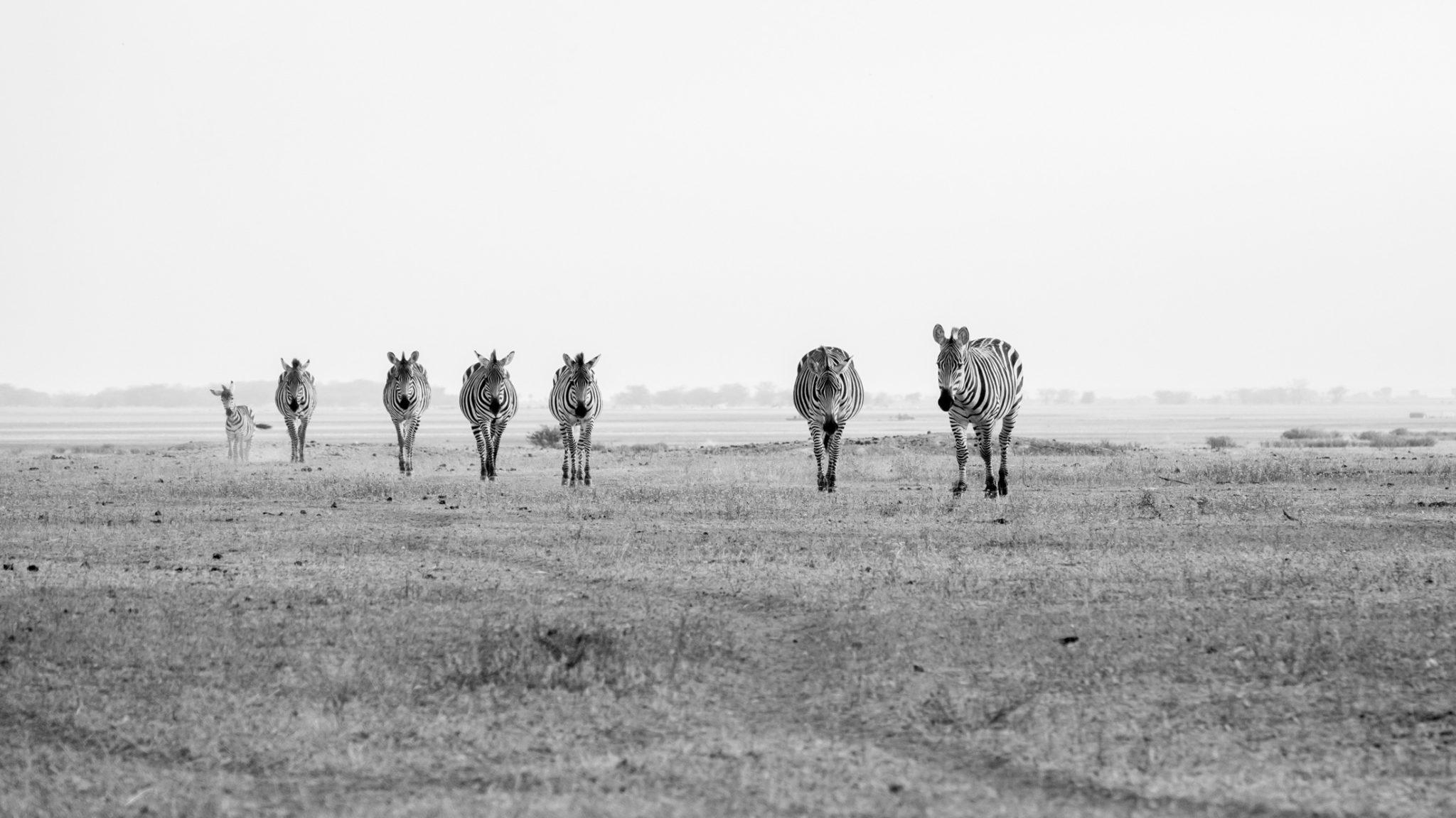 Zebras auf dem Weg zur Wasserstelle, Tansania