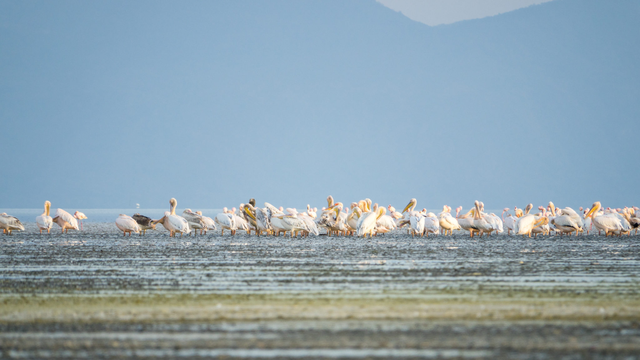 Pelikane und Flamingos am Lake Manyara, Tansania