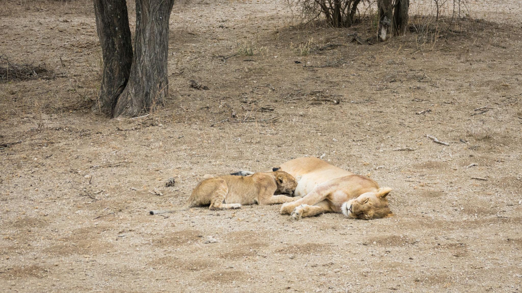 Löwin säugt ihr Junges im Ndutu Gebiet, Tansania