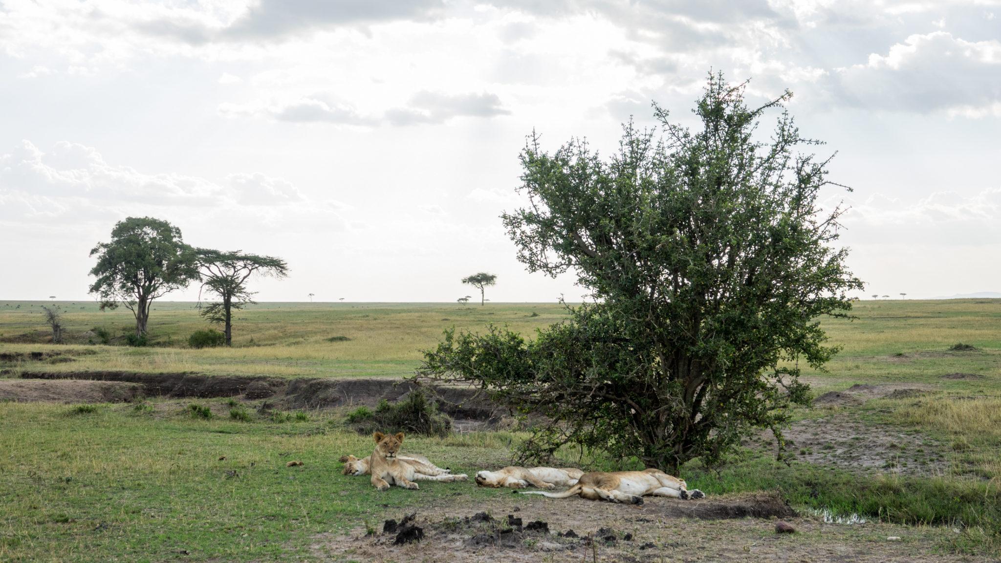 Löwenrudel in der Mittagspause Im norden der Serengeti - Tansania