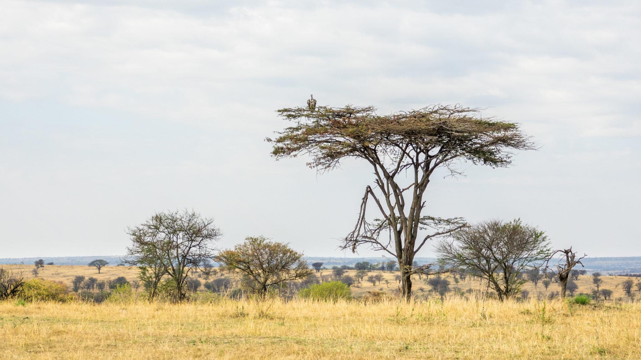 Geier sitzt auf Akazienbaum in Serengeti, Tansania