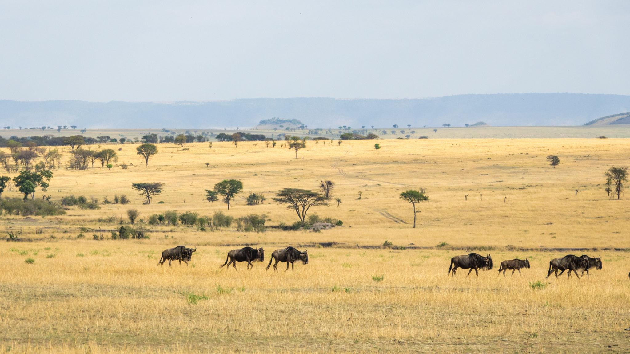 Gnus in der trockenen Serengeti, Tansania
