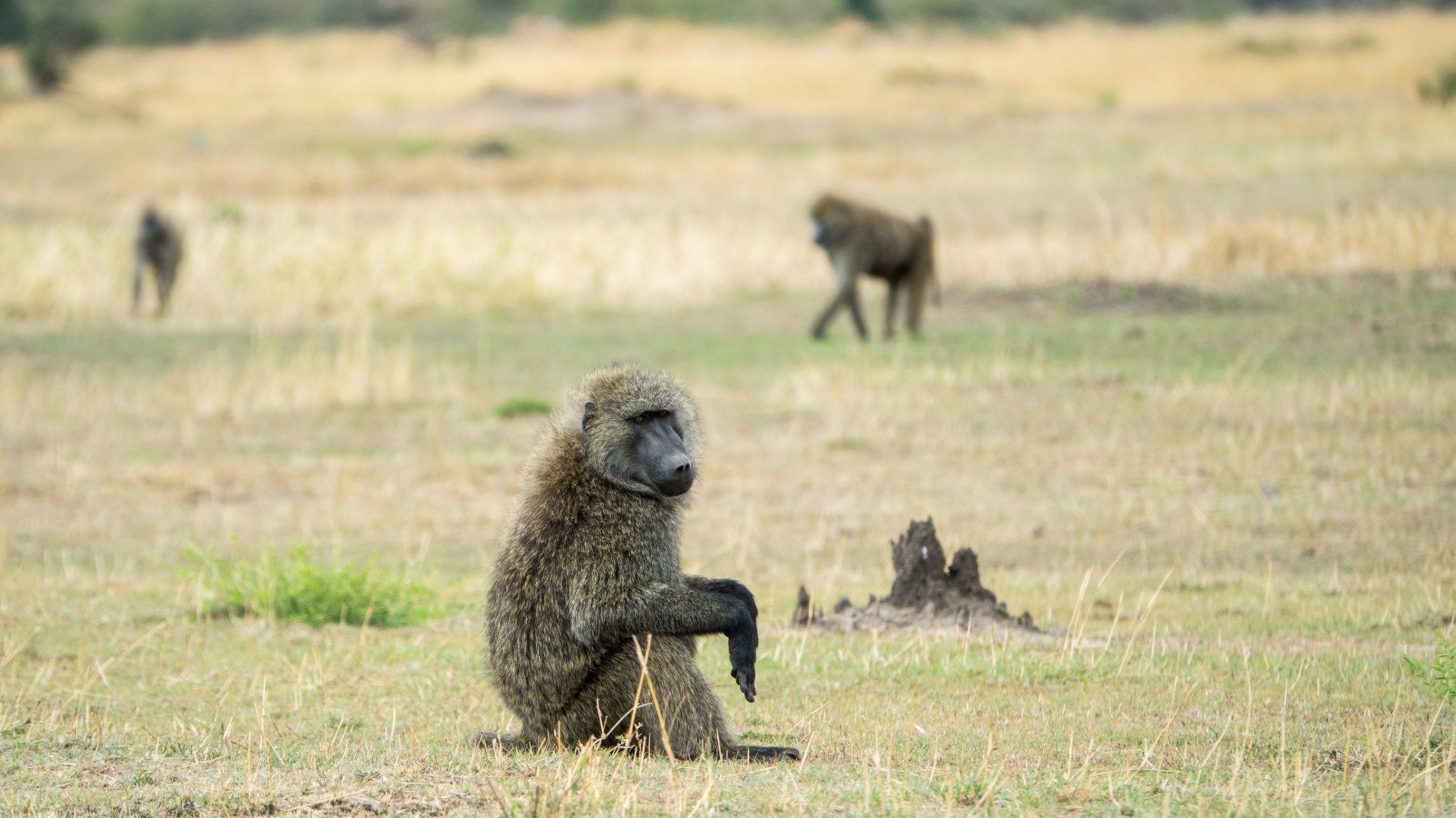 Pavian Serengeti, Tansania