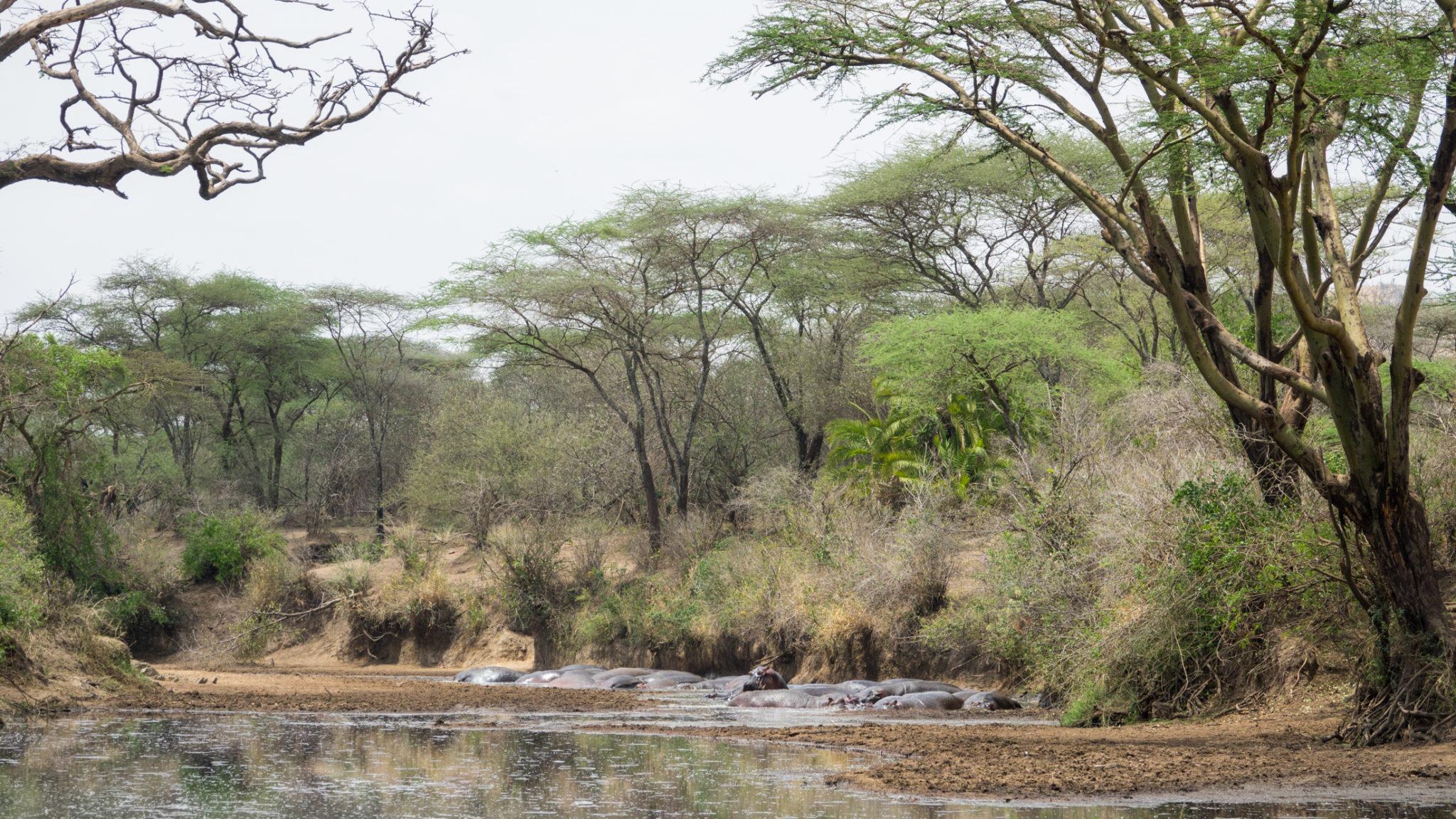 Hippos im Fluss in der Serengeti, Tansania