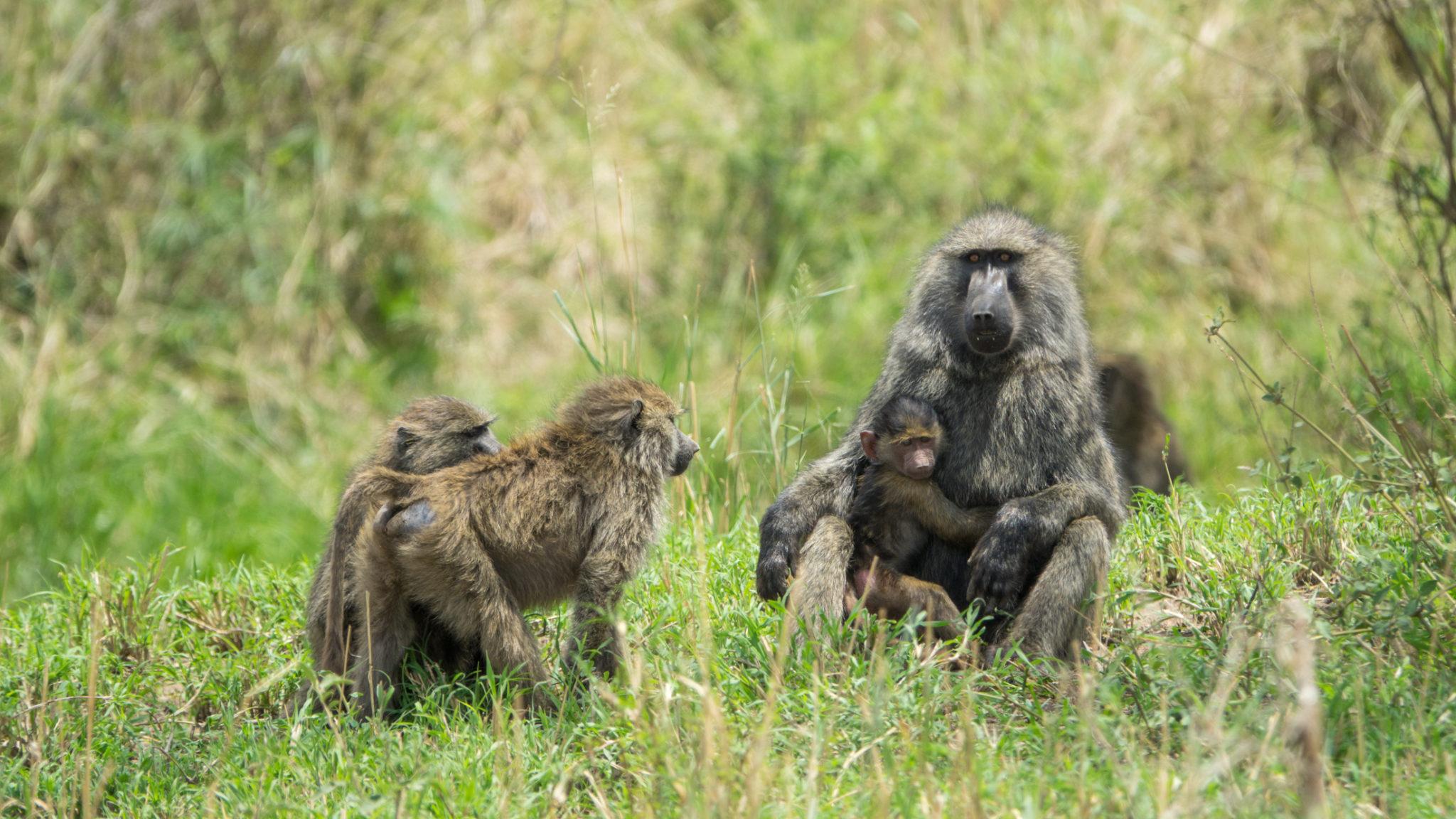 Paviane bei der Körperpflege in der Serengeti, Tansania