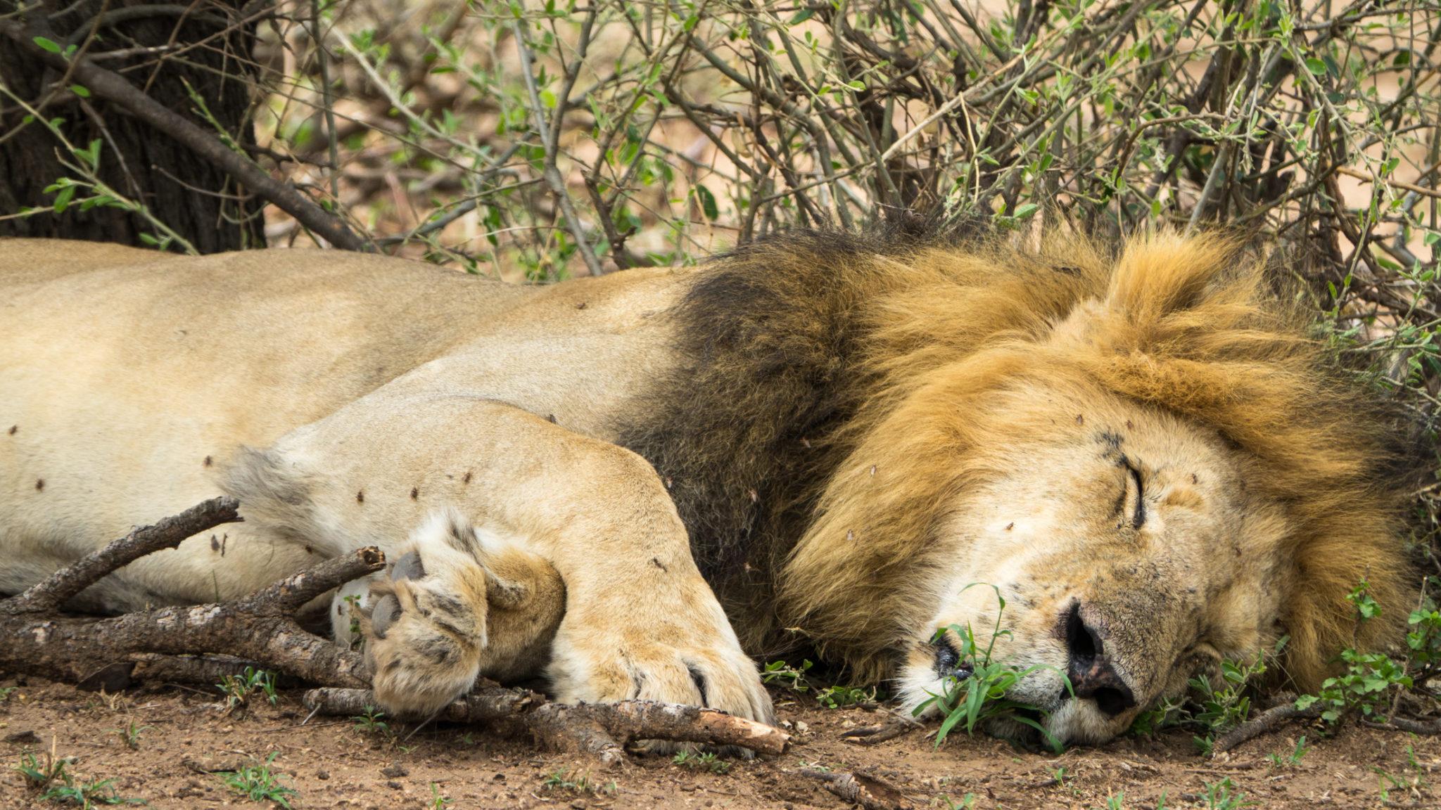 Löwenmännchen beim Schlafen in der Serengeti, Tansania