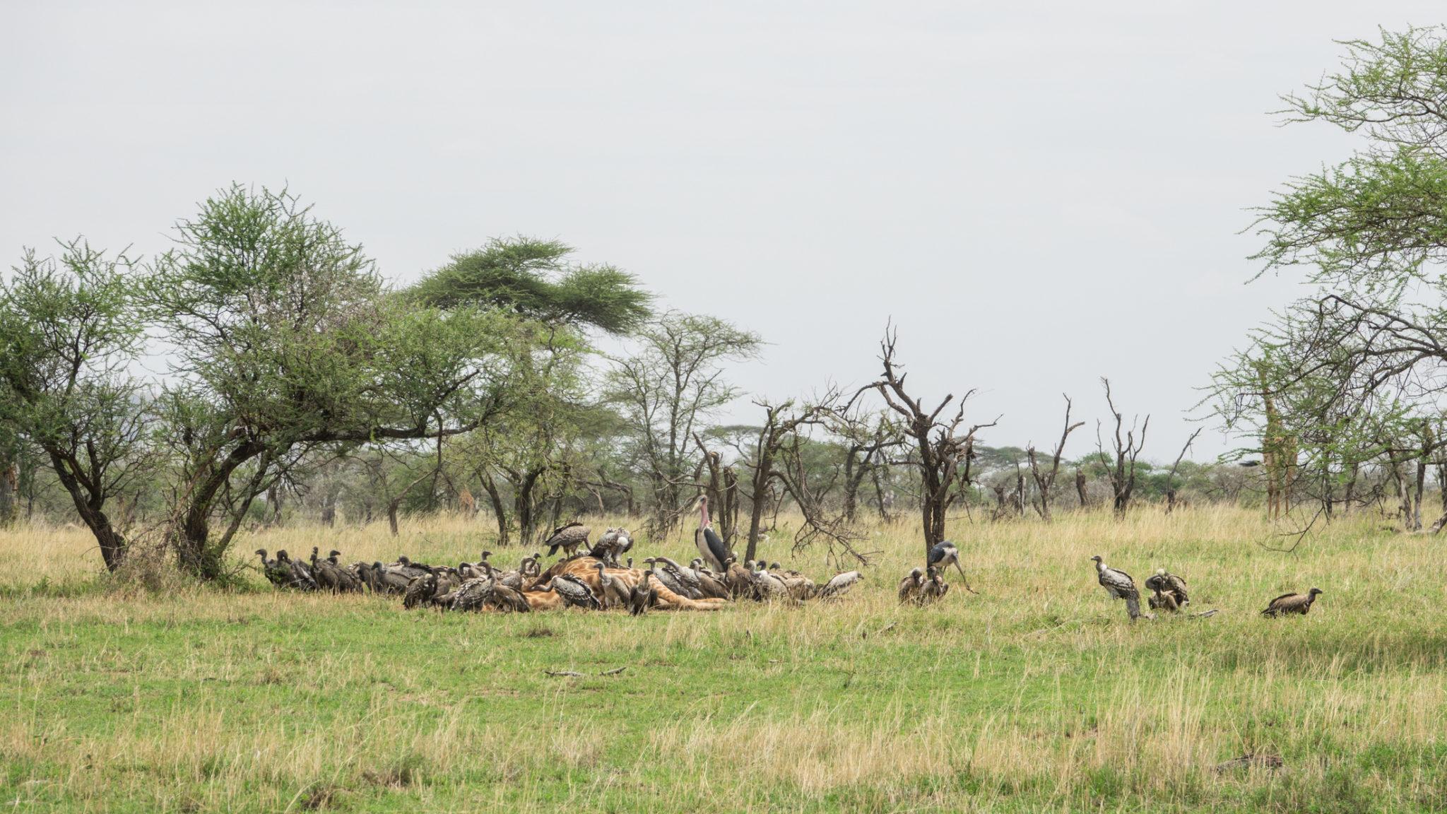 Tote Giraffe mit Geiern und Marabus in der Serengeti, Tansania