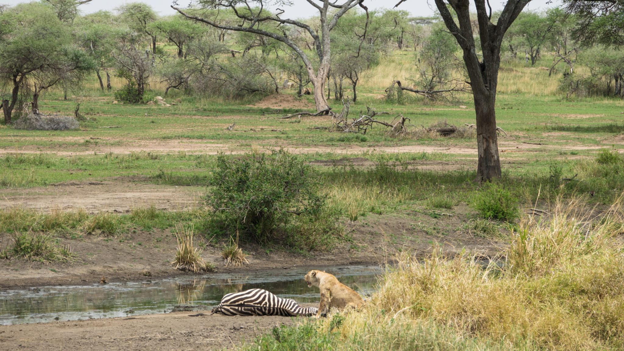 Löwin mit erlegten Zebra in der Serengeti, Tansania
