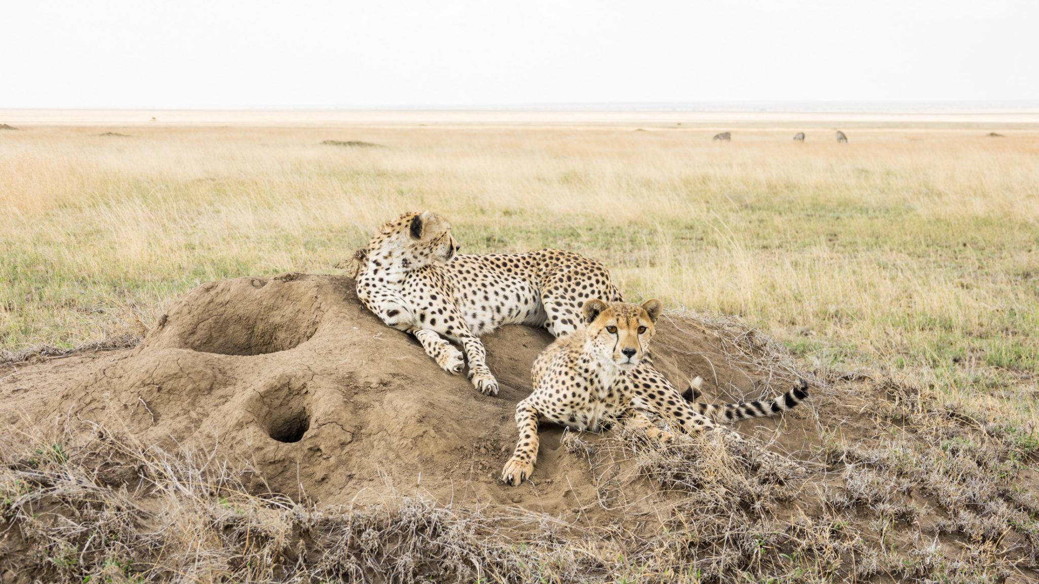 Gepardenpaar in der Serengeti, Tansania