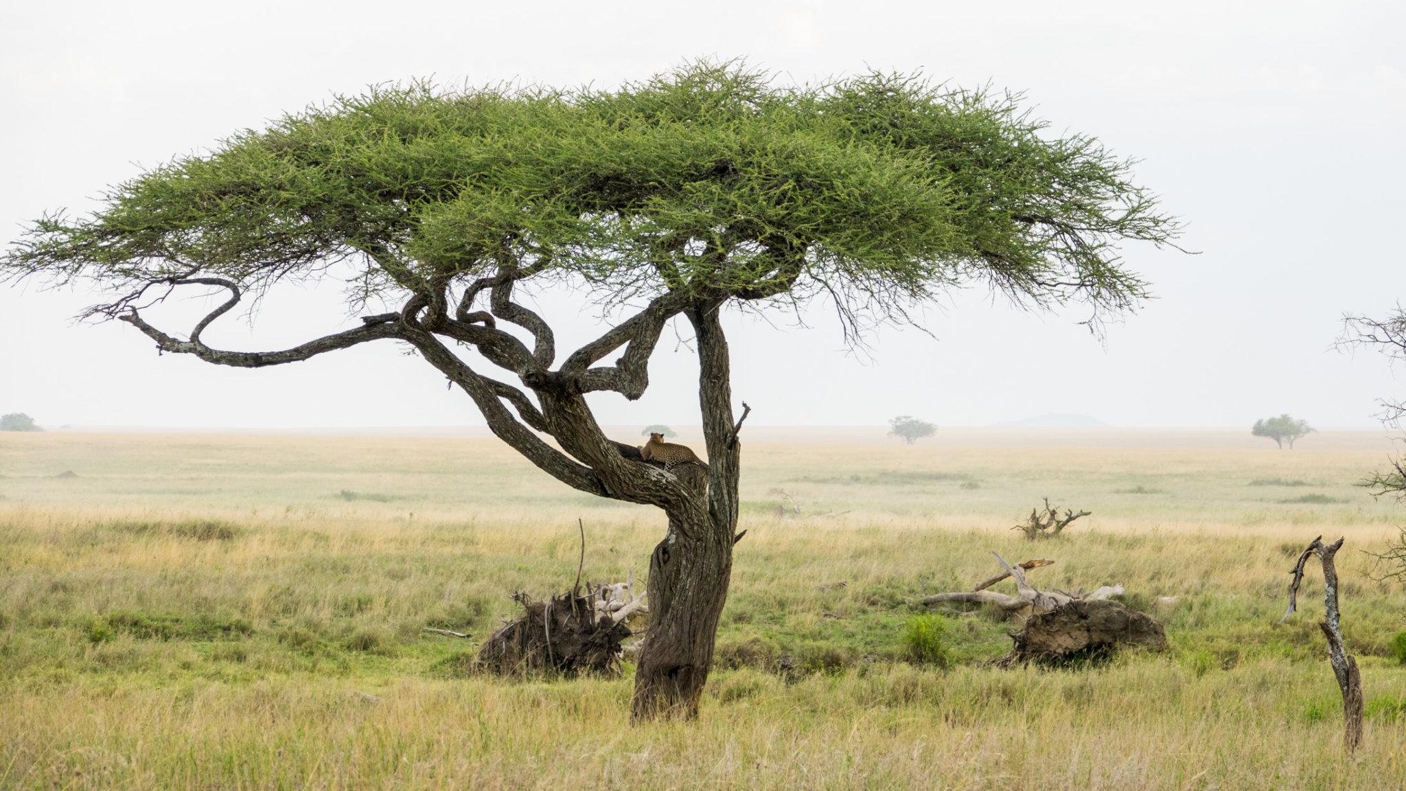Leopard im Baum, Serengeti