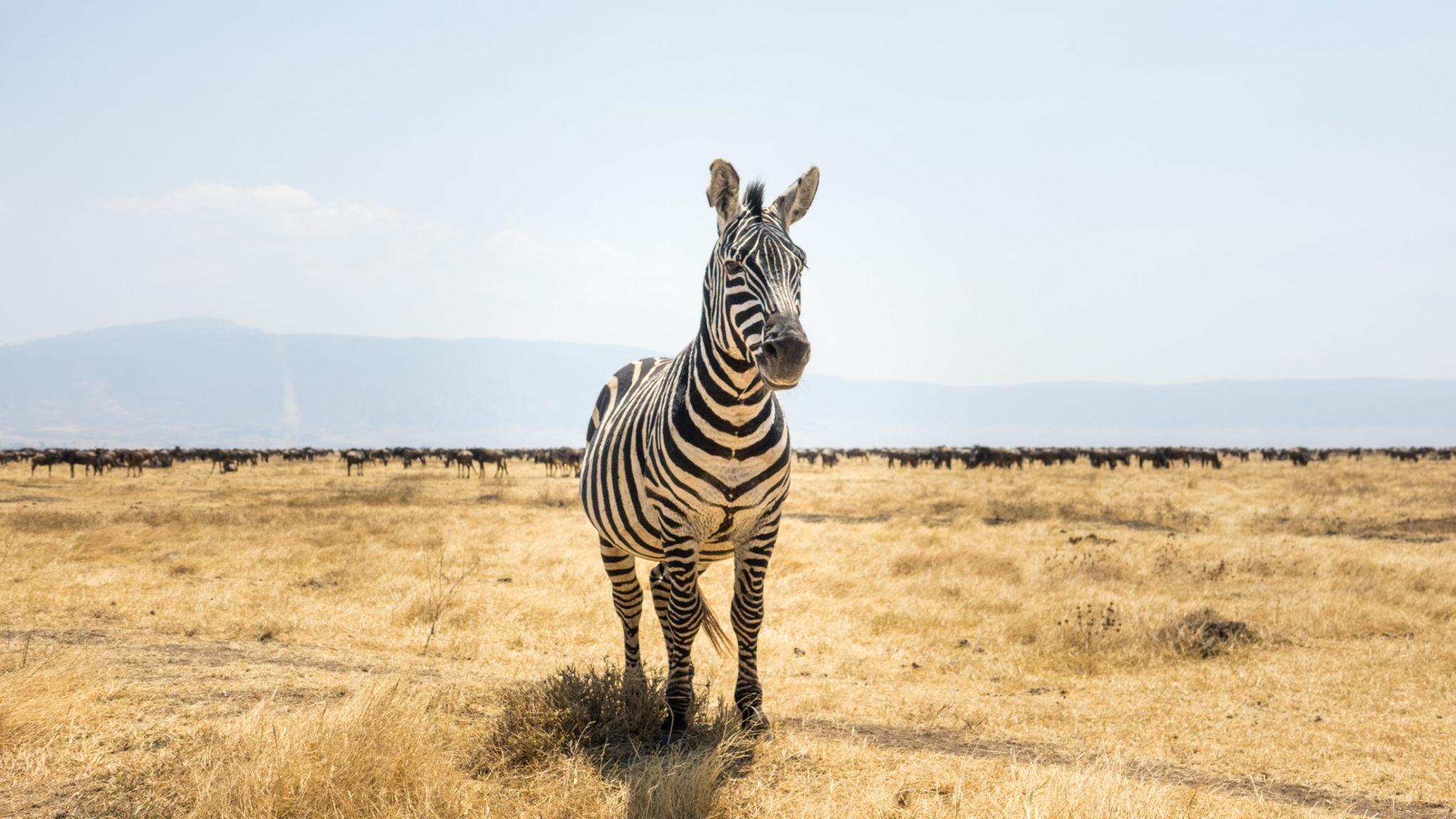 Zebra im Ngorongoro Krater, Tansania