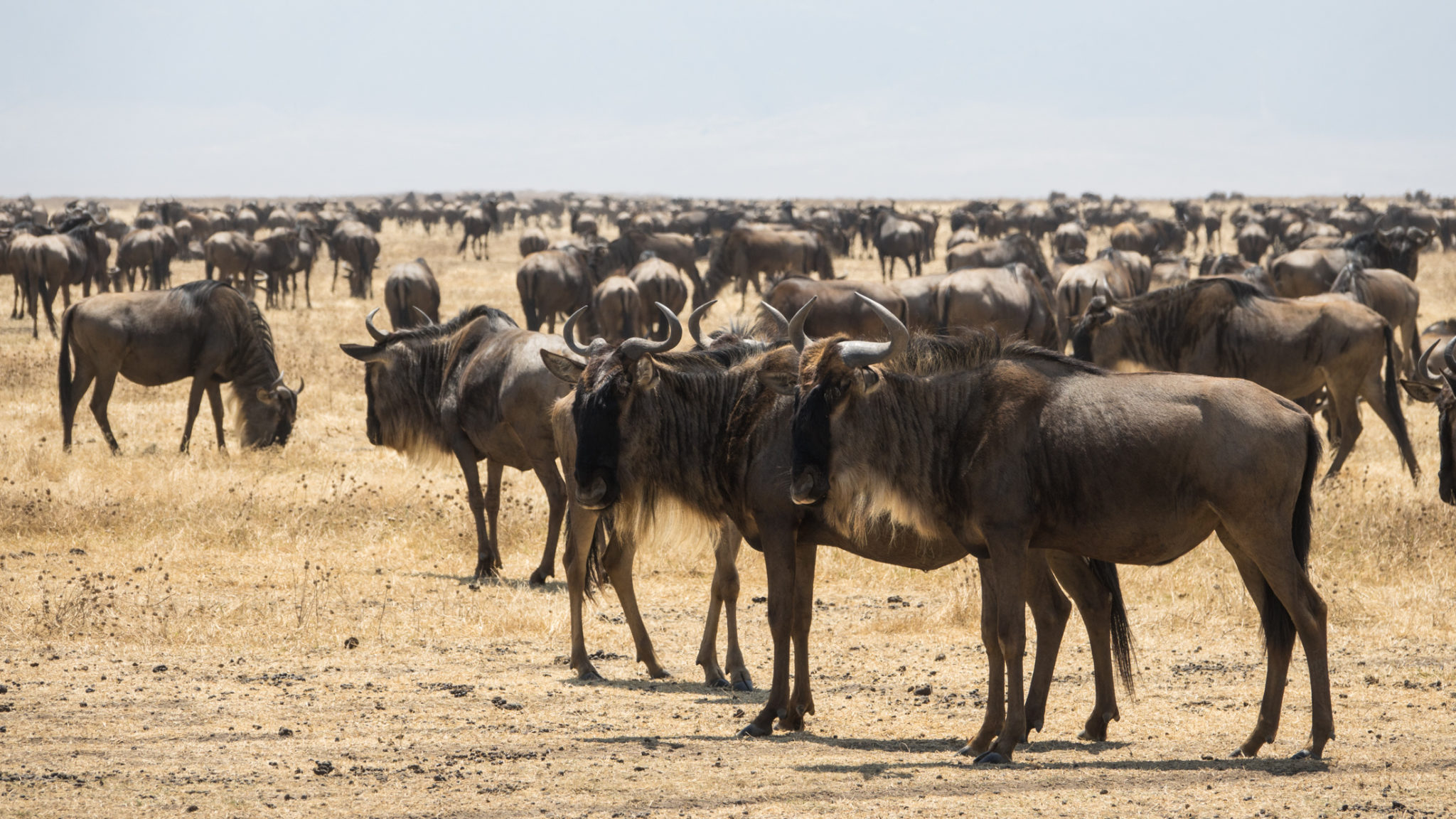 Gnuherde im Ngorongoro Krater, Tansania