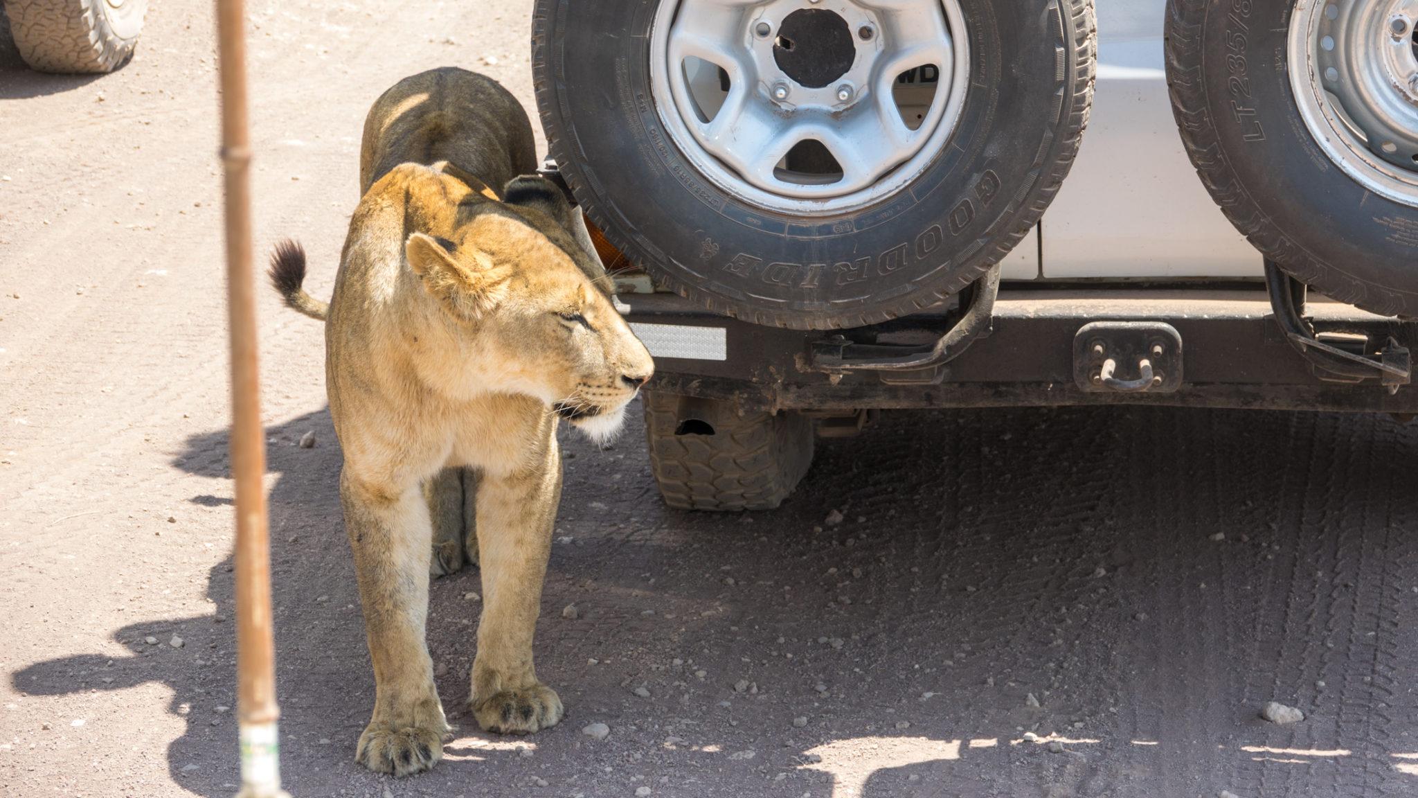 Löwin versteckt sich vor der Sonne hinter einem Geländewagen Ngorongoro Krater, Tansania