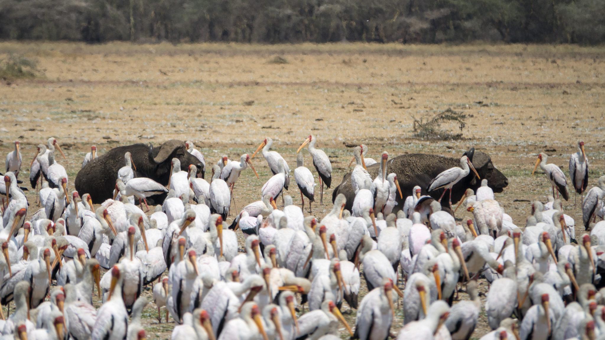 Büffel und Vögel am Lake Manyara, Tansania