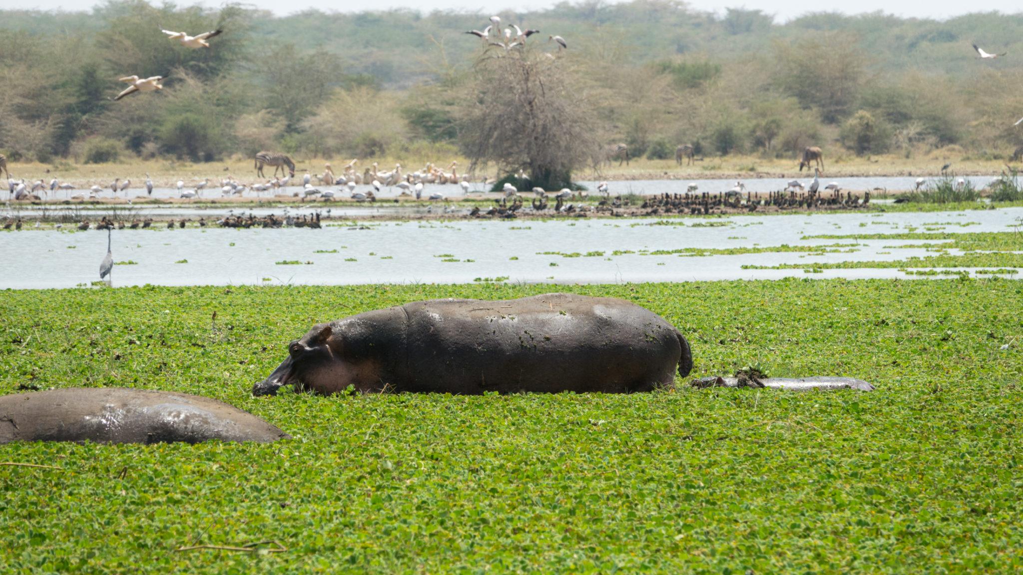Hippomutter mit Baby im Lake Manyara, Tansania