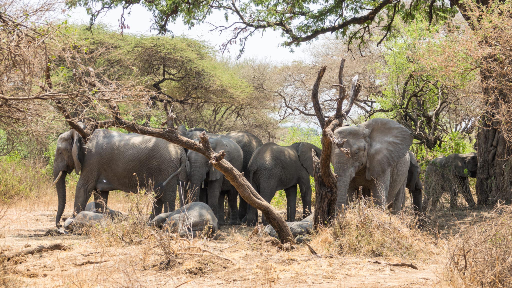 Elefantenherde wartet bis die Babies aufwachen Lake Manyara, Tansania