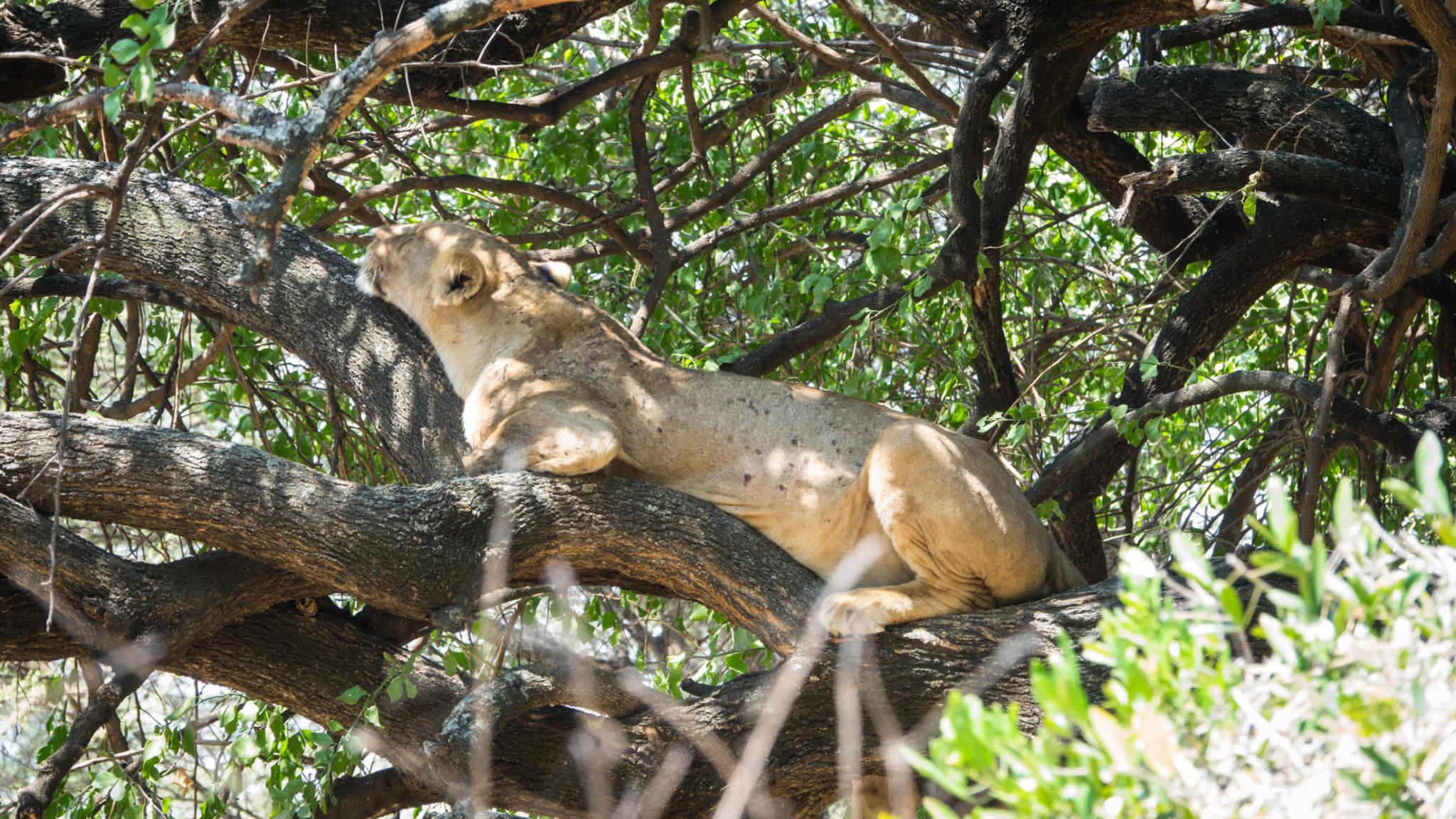Baumlöwen. Löwin auf einem Baum am Lake Manyara, Tansania
